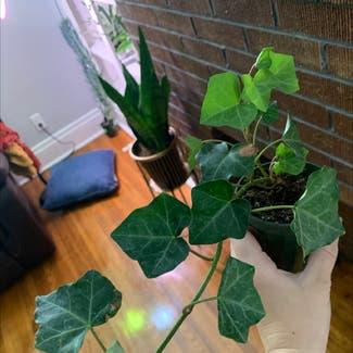 English Ivy plant in Buffalo, New York