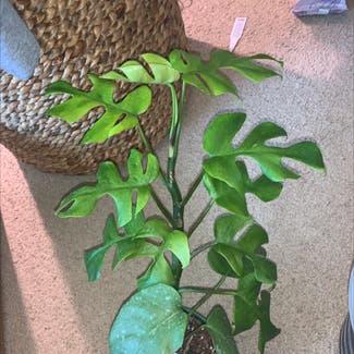Mini Monstera plant in Buffalo, New York