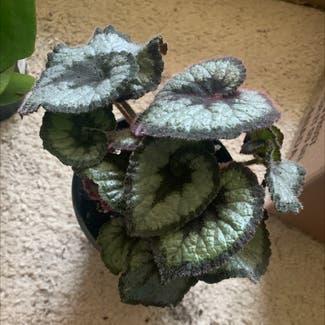 Rex Begonia 'Escargot' plant in Buffalo, New York