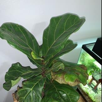 Fiddle Leaf Fig plant in Buffalo, New York