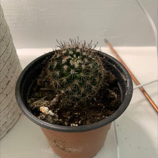 Little Nipple Cactus plant in Buffalo, New York