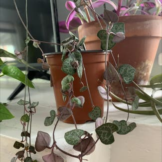 String of Hearts plant in Buffalo, New York