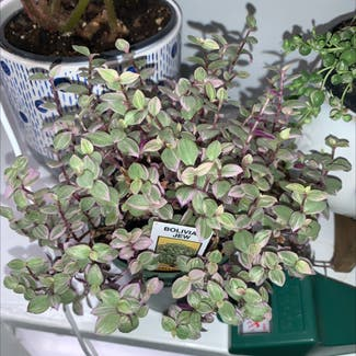 Creeping Inch Plant plant in Buffalo, New York
