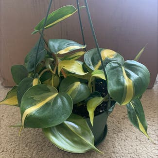 Philodendron 'Brasil' plant in Buffalo, New York