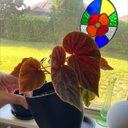 Photo of the plant species Begonia by Ashleigh named Begonia New on Greg, the plant care app