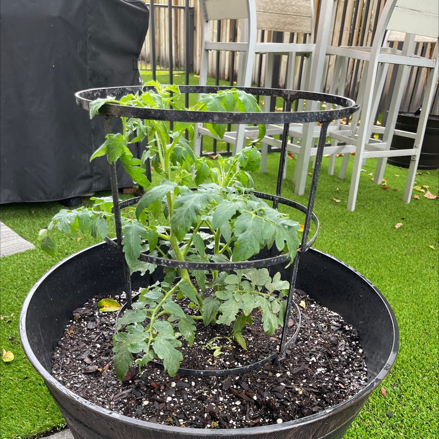 Tomato Plant plant in Somewhere on Earth