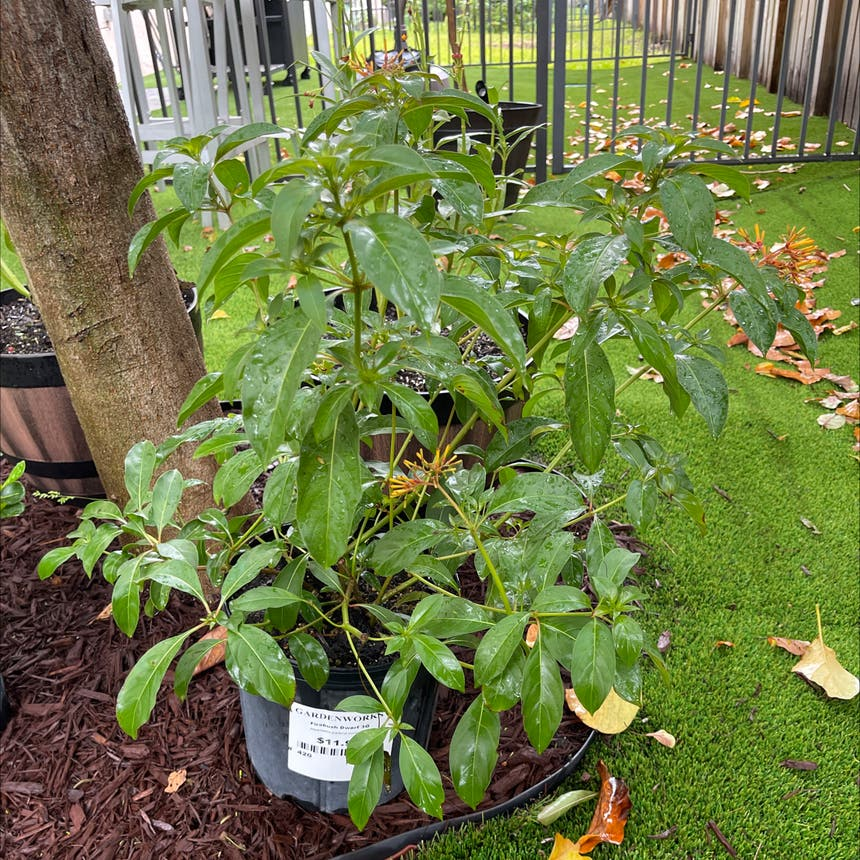 Firebush Dwarf plant in Somewhere on Earth