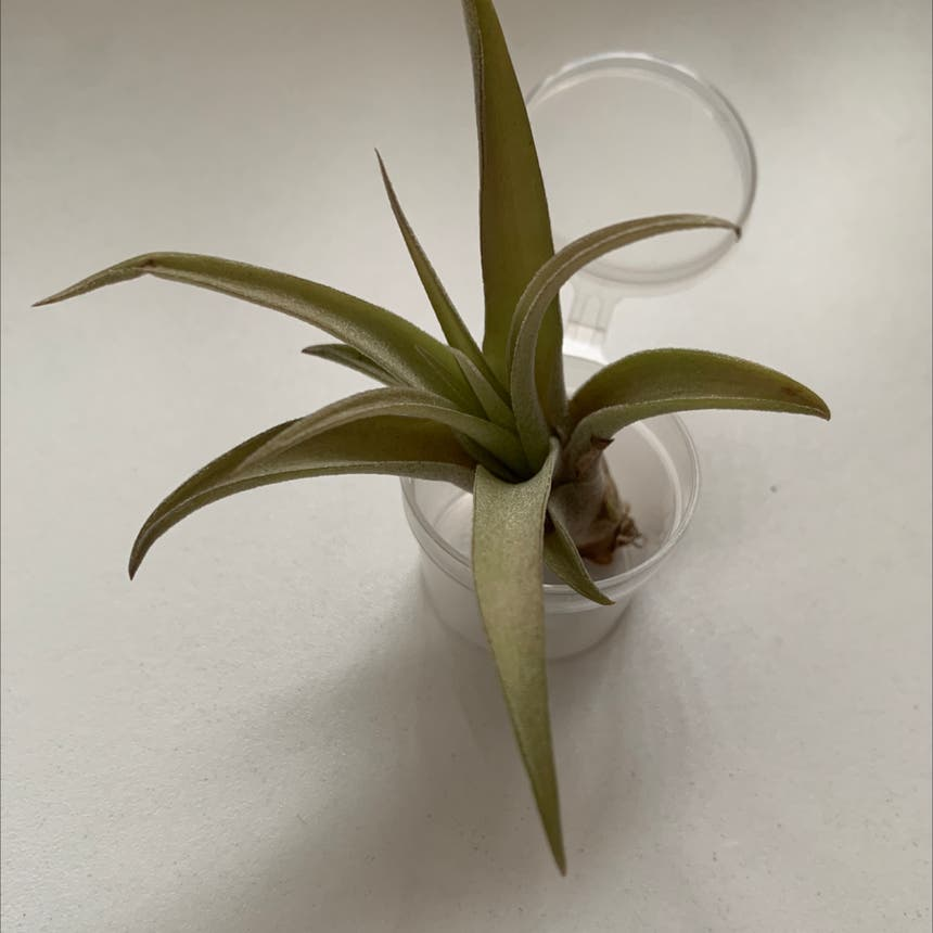 Spreading Airplant plant in San Diego, California
