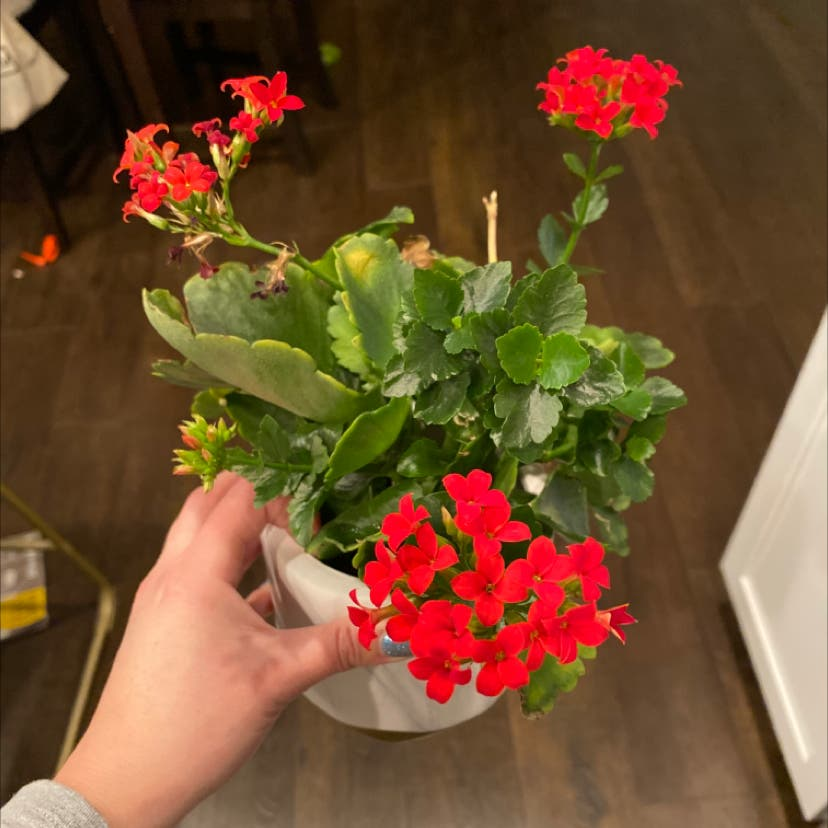 Photo of the plant species Florist Kalanchoe by Daniwinss named Harmony on Greg, the plant care app