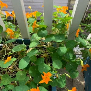 Garden nasturtium plant photo by Plantlife named Arwen on Greg, the plant care app.