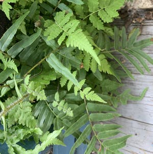 Christmas Fern plant photo by Plantlife named Kira on Greg, the plant care app.