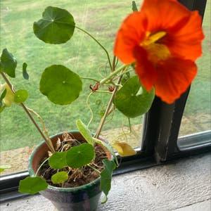 Garden nasturtium plant photo by Crim named Persephone on Greg, the plant care app.