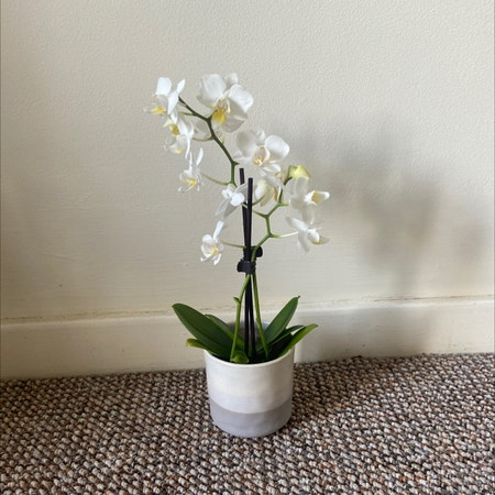 Photo of the plant species Orchid by Kiracoxy named Your plant on Greg, the plant care app