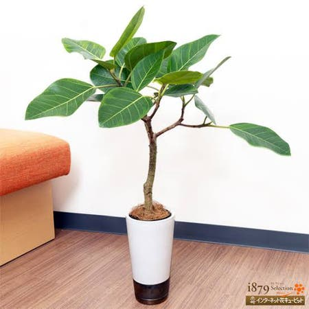 Photo of the plant species Ficus Aurea by 亮太 named Lebron on Greg, the plant care app