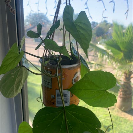 Photo of the plant species moonflower vine by Lupita6785 named Luna on Greg, the plant care app