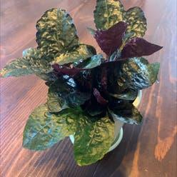 Purple Waffle Plant plant