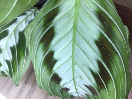 Photo of the plant species black prayer plant by Monsterplantscalifornia named Massengeana maranta on Greg, the plant care app
