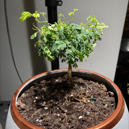 Photo of the plant species Brazilian Rain Tree by Madtxn named Rayne on Greg, the plant care app