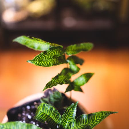 Photo of the plant species Golden Zebra Fern by Madtxn named Stripey on Greg, the plant care app