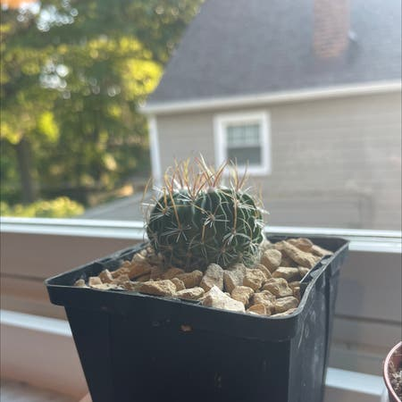 Photo of the plant species Brain cactus by Ashley named Ozzie on Greg, the plant care app