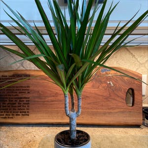 Dragon tree plant photo by Taylor97 named Margarita on Greg, the plant care app.