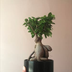Ficus Ginseng plant photo by Lilcrap_beanthang named Fergus on Greg, the plant care app.