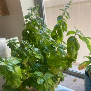 Sweet Basil plant photo by Alexis named Basil on Greg, the plant care app.