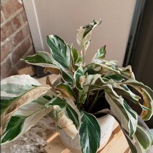 Calathea 'White Fusion' plant photo by Ennie1999 named Leia on Greg, the plant care app.