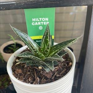 Aristaloe plant photo by Eleni named Hilton Carter on Greg, the plant care app.