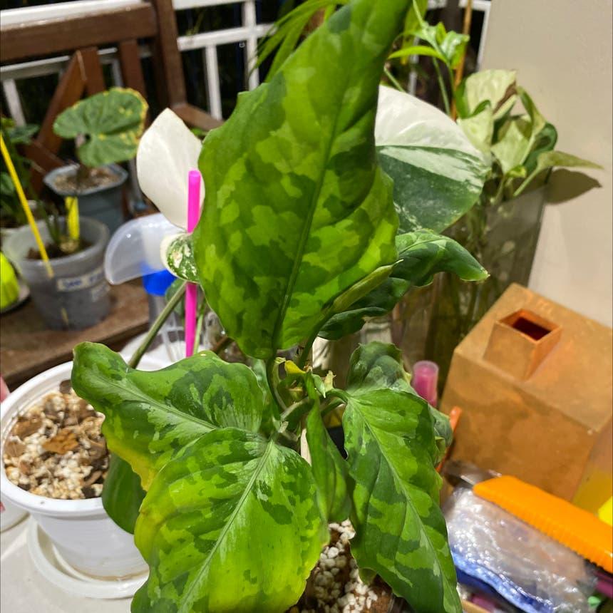 Homalomena 'Camouflage' plant
