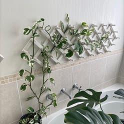 pothos snow queen plant