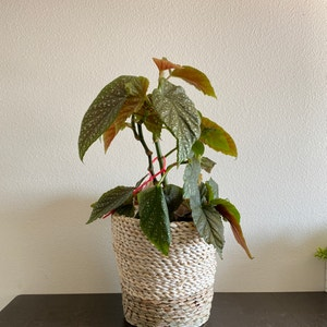 Polka Dot Begonia plant photo by Kaitsand named Spot on Greg, the plant care app.