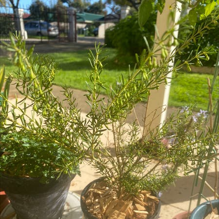 Photo of the plant species Boronia Lutea by Burnzy named Your plant on Greg, the plant care app