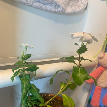 Photo of the plant species Old Maid by Hearing.haver named cheess balls on Greg, the plant care app