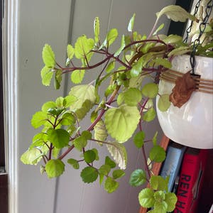 Swedish Ivy plant photo by Pennock named Your plant on Greg, the plant care app.