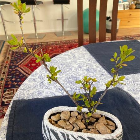 Photo of the plant species dodonaea ceratocarpa by Cjt named Dodonaca Ceratocarpa on Greg, the plant care app
