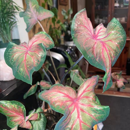 Photo of the plant species Strap Leaf Caladium by Tabitha named Prince on Greg, the plant care app