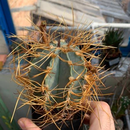 Photo of the plant species Astrophytum senile v. aureum by Giorgi named Your plant on Greg, the plant care app