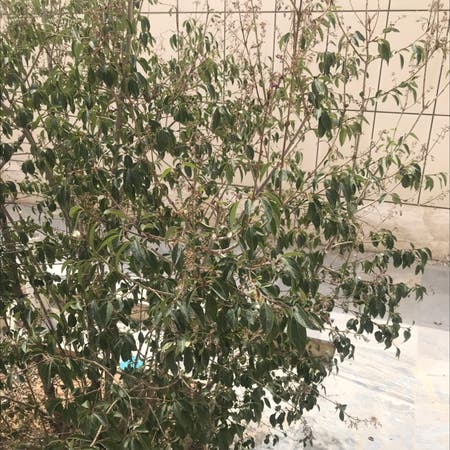 Photo of the plant species japanese tree lilac by سجاد named گل یاس on Greg, the plant care app
