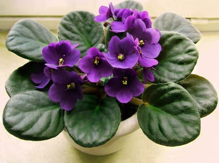 Photo of the plant species Kenyan Violet by Maybe named Willow on Greg, the plant care app