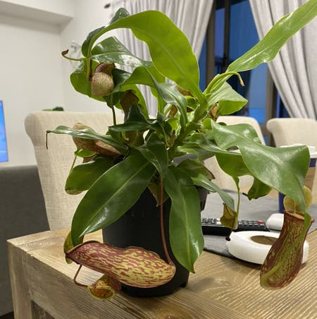 Photo of the plant species Pitcher Plant by Hunnlahh named Periuk Kera on Greg, the plant care app