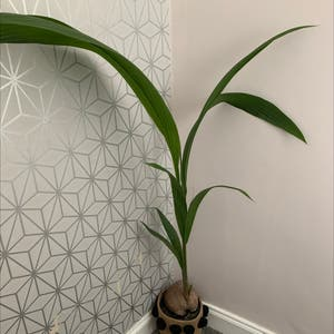 Coconut plant photo by Alexcollectsplants named Coco on Greg, the plant care app.