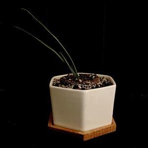 Hesperaloe plant photo by Al.orag17 named Hesper  on Greg, the plant care app.