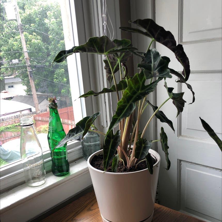 Alocasia Amazonica plant in Kenmore, New York