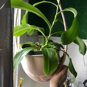 Tropical Pitcher Plant plant photo by Tuliptalons named Gadzooks on Greg, the plant care app.