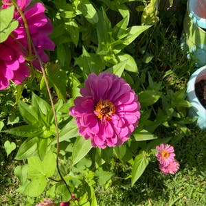 Common Zinnia plant photo by Reireiko named Hot Pink on Greg, the plant care app.