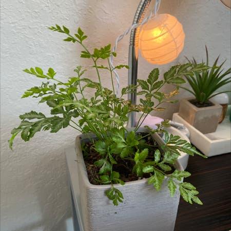 Photo of the plant species Brake Fern by Hamsplants named fernie sanders on Greg, the plant care app