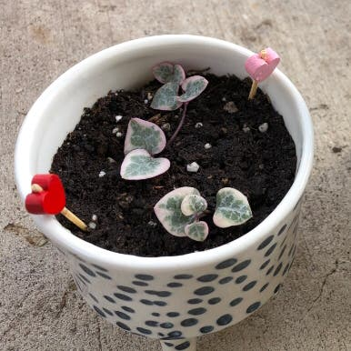 Variegated String of Hearts plant