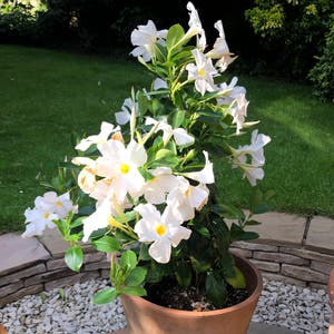 Brazilian jasmine plant photo by Hopx named Phyllis on Greg, the plant care app.