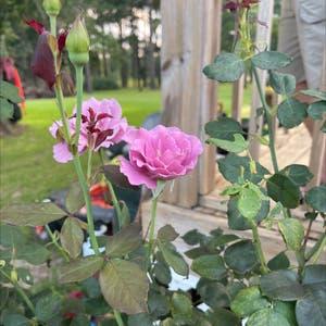 China Rose plant photo by Jennifersheler named Elle on Greg, the plant care app.